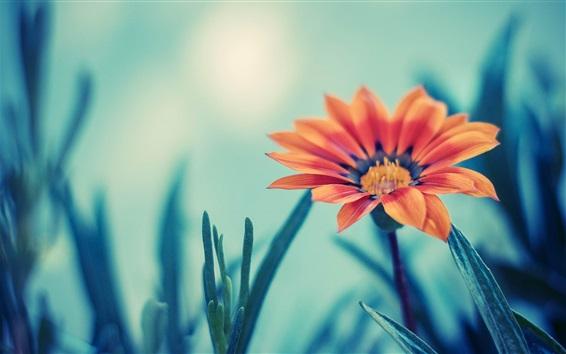 배경 화면 오렌지 데이지 꽃, 나뭇잎, bokeh