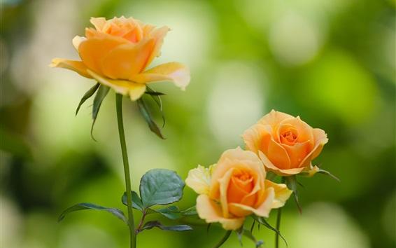 Обои Оранжевые лепестки розы, цветы, листья, боке