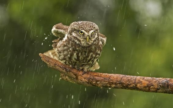 Обои Сова в дождь