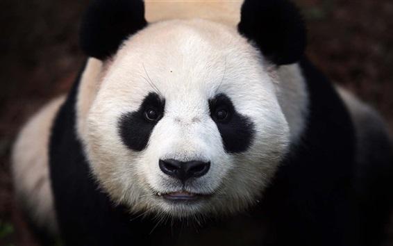 Papéis de Parede Panda cabeça close-up, branco e preto