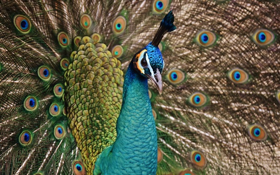 Wallpaper Peacock show beautiful tail, feathers