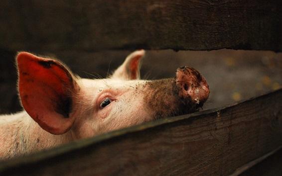 Wallpaper Pig take head up
