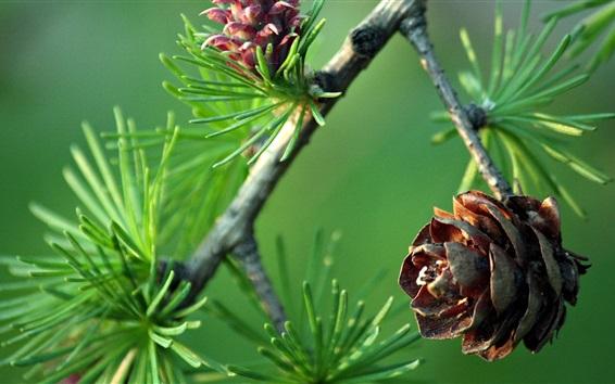 배경 화면 소나무 나뭇 가지, pinecone
