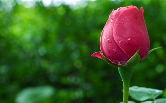 Wallpaper Pink rose flower bud, water drops