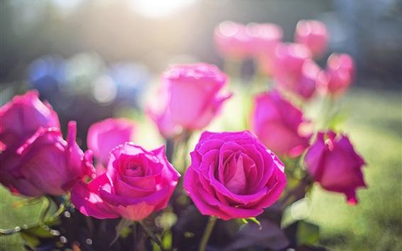 Wallpaper Pink roses, sunshine, garden