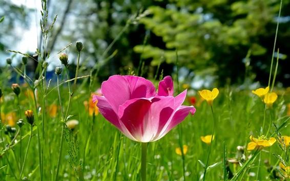 Обои Розовый тюльпан и желтые цветы