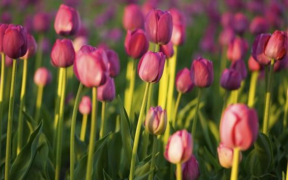 壁紙 ピンクのチューリップ、庭