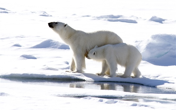 Wallpaper Polar bears, mother and cub, snow