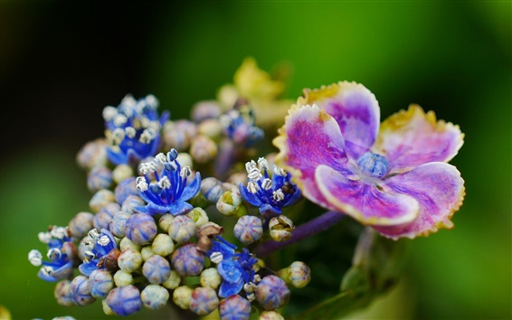 Обои Фиолетовый и голубой цветы крупным планом