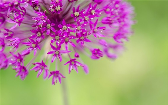 Purple flowers, small flowers photography Wallpaper Preview