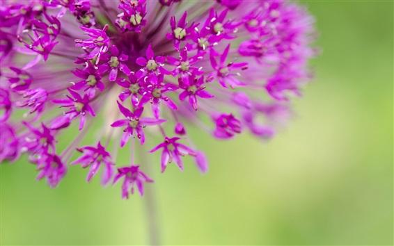 Обои Фиолетовые цветы, мелкие цветы фотографии