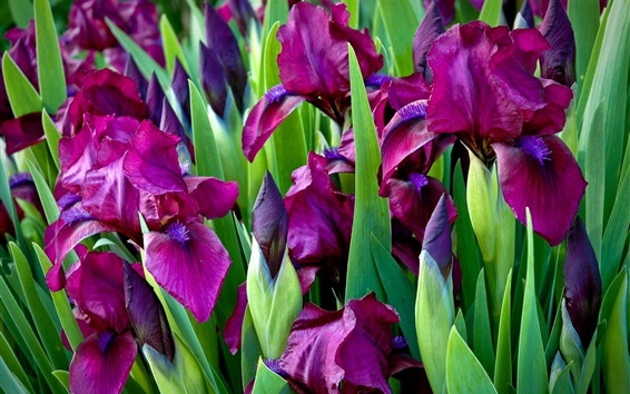 壁紙 紫色の虹彩の花、緑色の葉