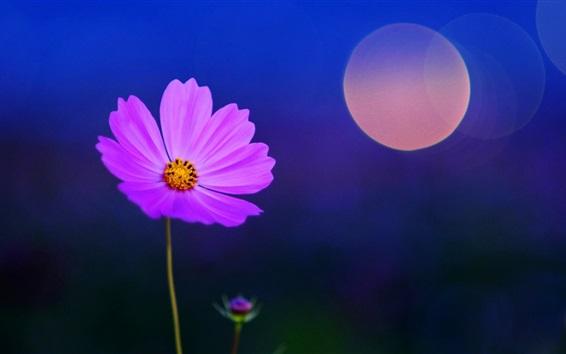배경 화면 보라색 꽃, 섬광