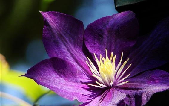 Wallpaper Purple petals clematis close-up, pistil