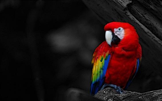 Papéis de Parede Vermelho, pena, papagaio, close-up