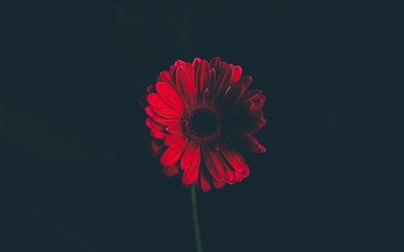 Wallpaper Red flower close-up, dark background