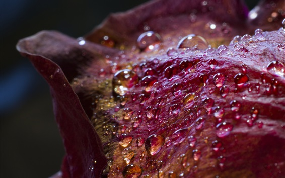 Обои Красные лепестки цветка крупным планом, капельки воды
