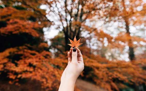 Wallpaper Red maple leaf in hand