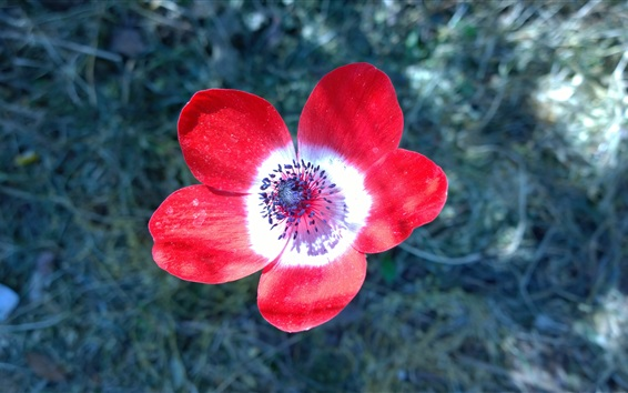 Обои Крупный план анемона красных лепестков