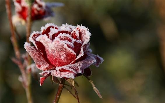 Обои Красная роза, мороз, холод