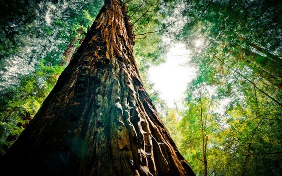 Papéis de Parede Redwood, árvores, floresta, vista de baixo, brilho
