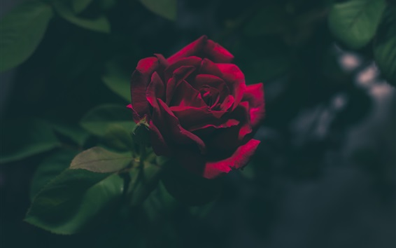 Wallpaper Rose in the dark