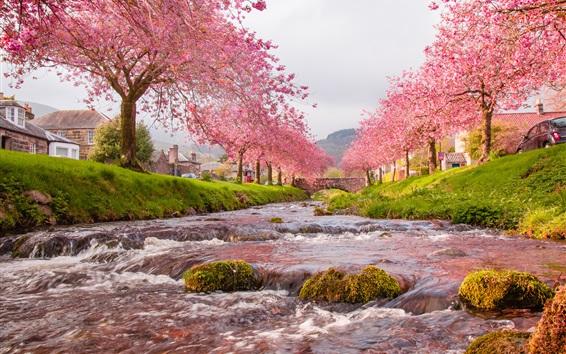 Обои Сакура, река, мост, трава, деревня