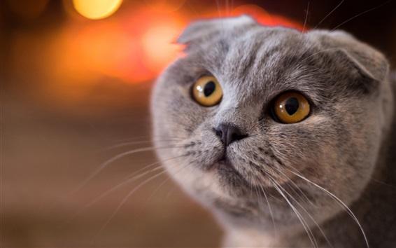 Wallpaper Scottish fold cat, face, yellow eyes