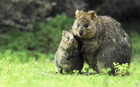 Wallpaper Short-tailed kangaroo, grass, Australia