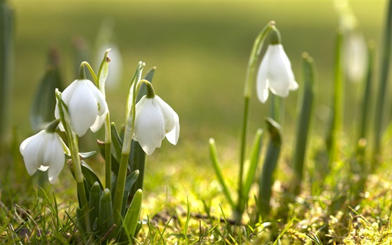 Wallpaper Snowdrops, photography, sunshine