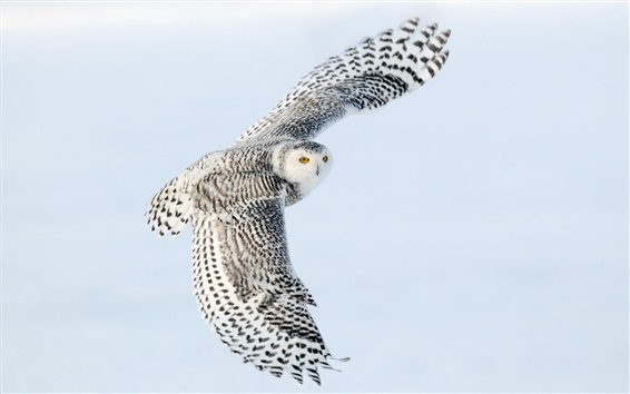 Wallpaper Snowy owl flying, wings, sky