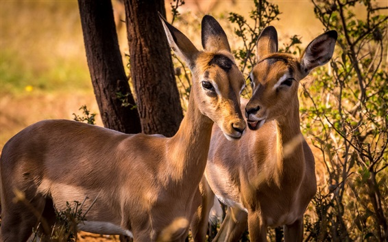Wallpaper South Africa, impala, animal photography