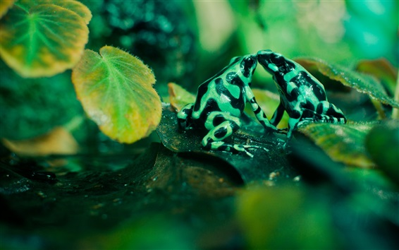 Wallpaper Spotted frogs