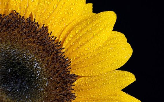 Wallpaper Sunflower petals, water drops