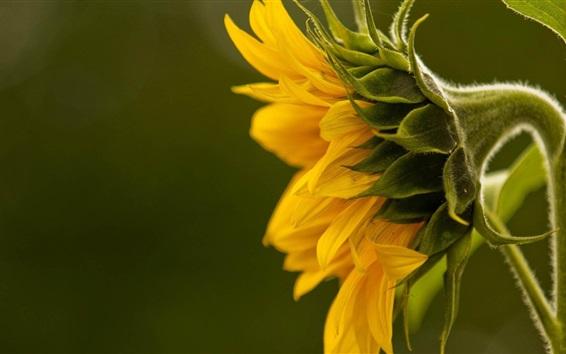 Wallpaper Sunflower side view