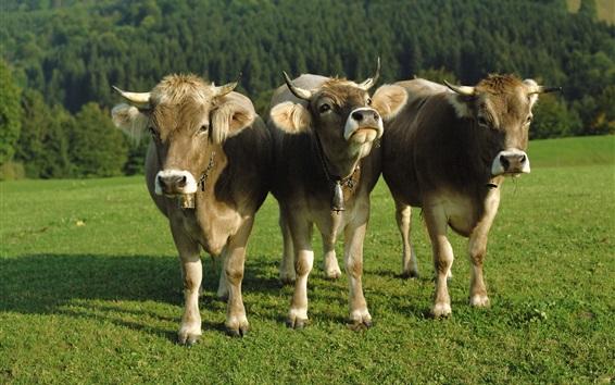 Wallpaper Three cows