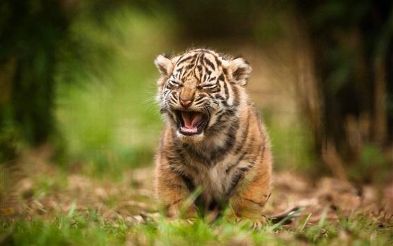 Wallpaper Tiger cub yawn