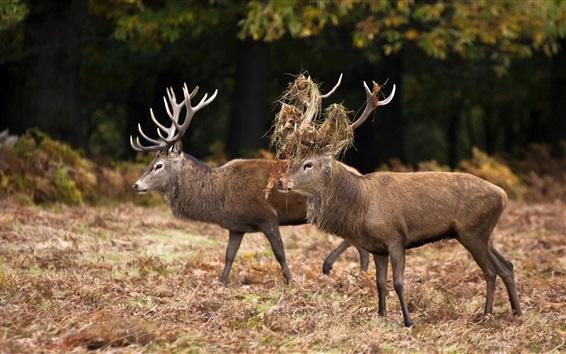 Wallpaper Two deers walking