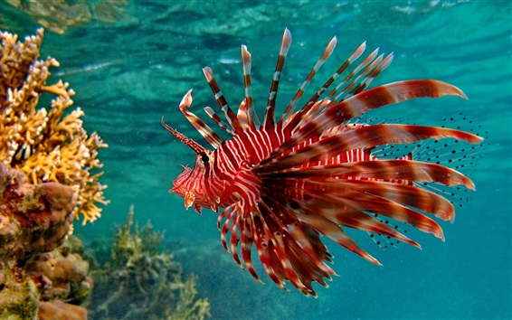 Wallpaper Underwater, red color fish, water, sea