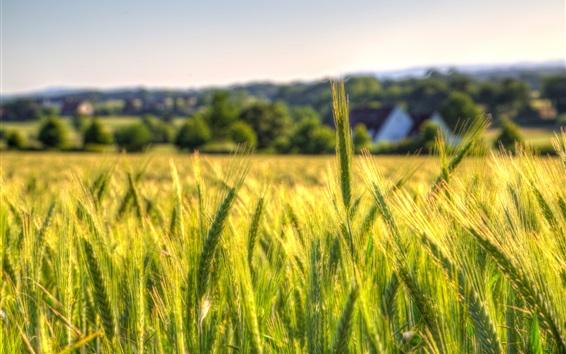 Fond d'écran Champ de blé, campagne, ferme