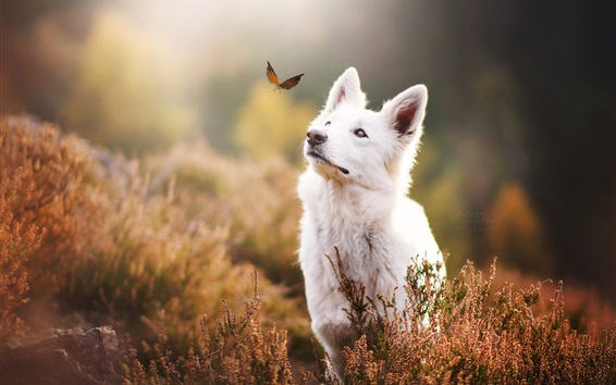 Wallpaper White dog look at butterfly