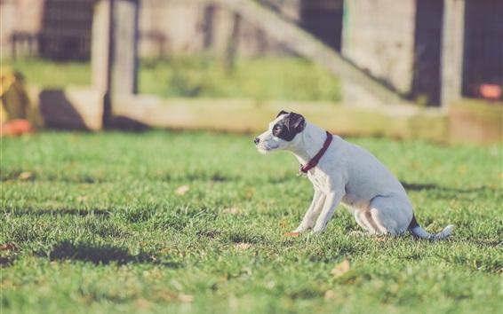 Fondos de pantalla Perro blanco sentarse en la hierba