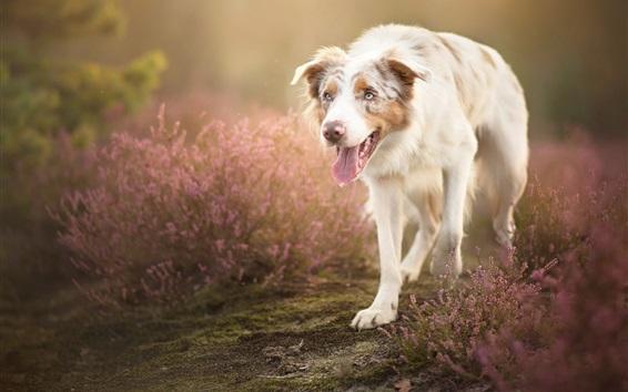 Wallpaper White dog walk in the flowers field