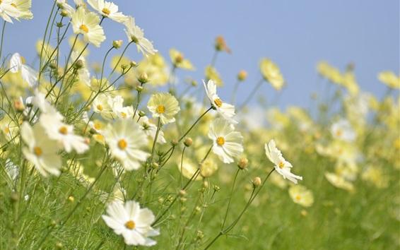 Wallpaper White kosmeya flowers