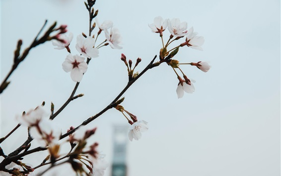 Wallpaper White plum flowers, spring, twigs
