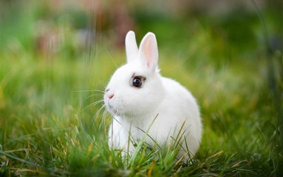 Обои Белый кролик, трава