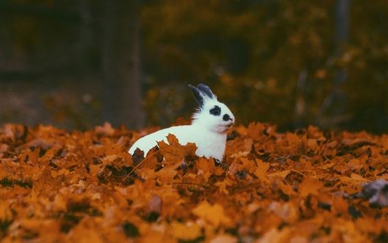 Wallpaper White rabbit in autumn, yellow foliage