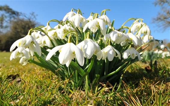 Papéis de Parede Branco snowdrops flores, grama