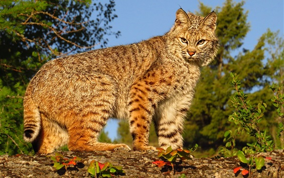 Wallpaper Wild cat look at you