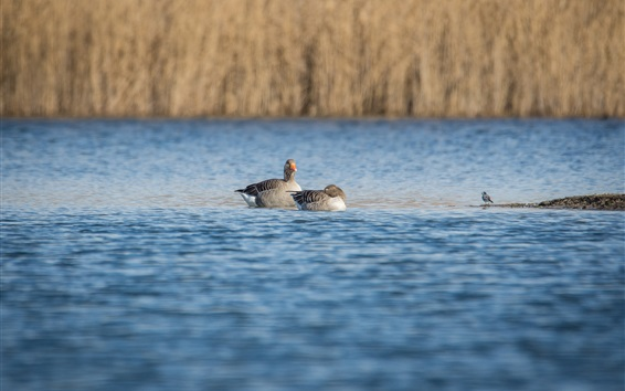 Wallpaper Wild geese in the pond, birds photography